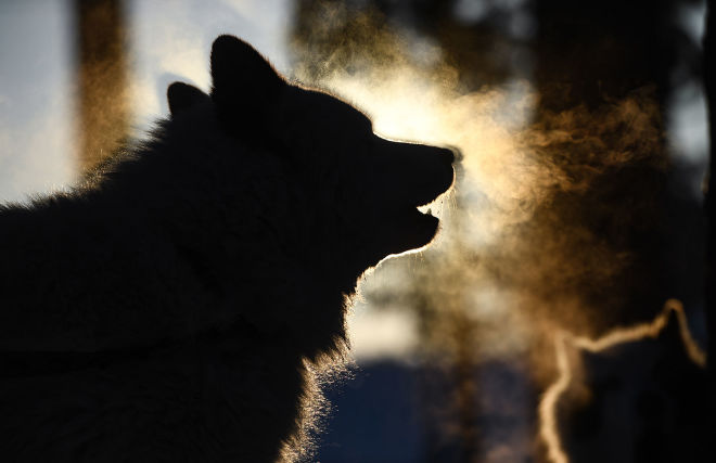 Yamal to launch recovery of native Nenets herding dog