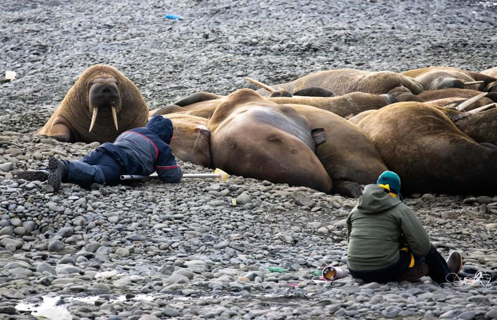 Researchers use sparing methods to study polar bears and Atlantic walruses in Russian Arctic National Park