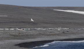 Лебедь на мысе Желания