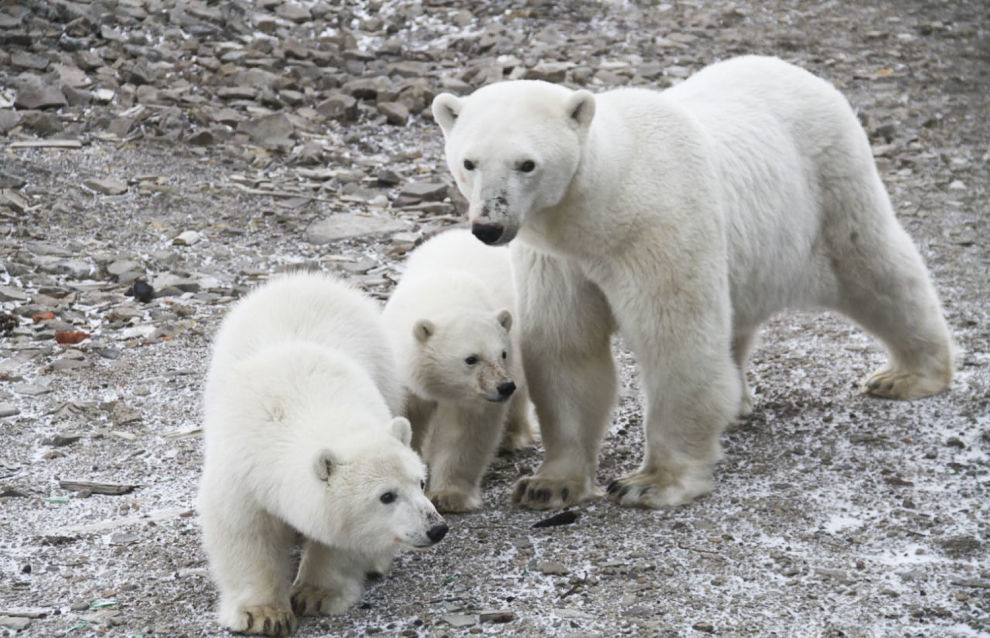 Polar explorers see polar bear family reunite