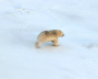 Photos of polar bears taken during the count in the Medvezhyi Islands Nature Reserve