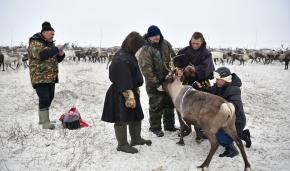 Measuring reindeer