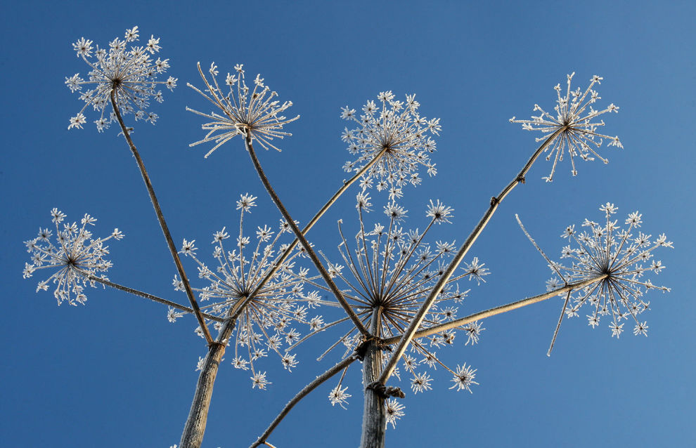 Hogweed may harm Arctic traditional farming