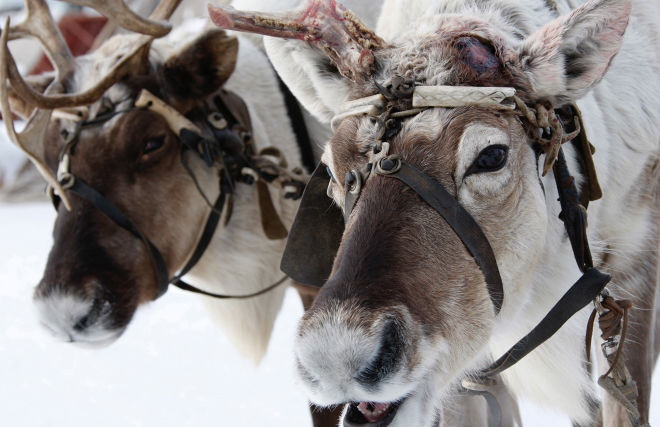 Northern Fleet marines learn to drive reindeer and dog sleds