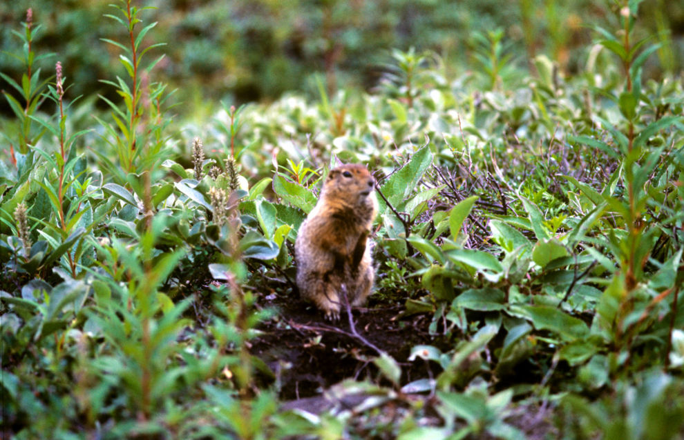 Lemming population, isolated 90,000 years ago, discovered in Novaya Zemlya