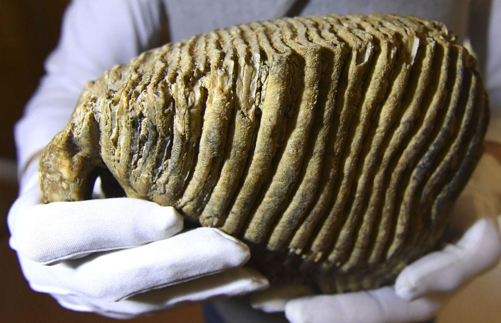Зуб мамонта в музее геологии Центральной Сибири GEOS в Красноярске
