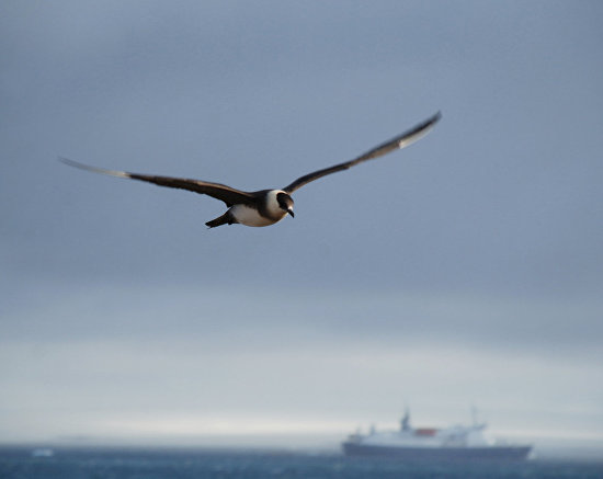 A skua in flight