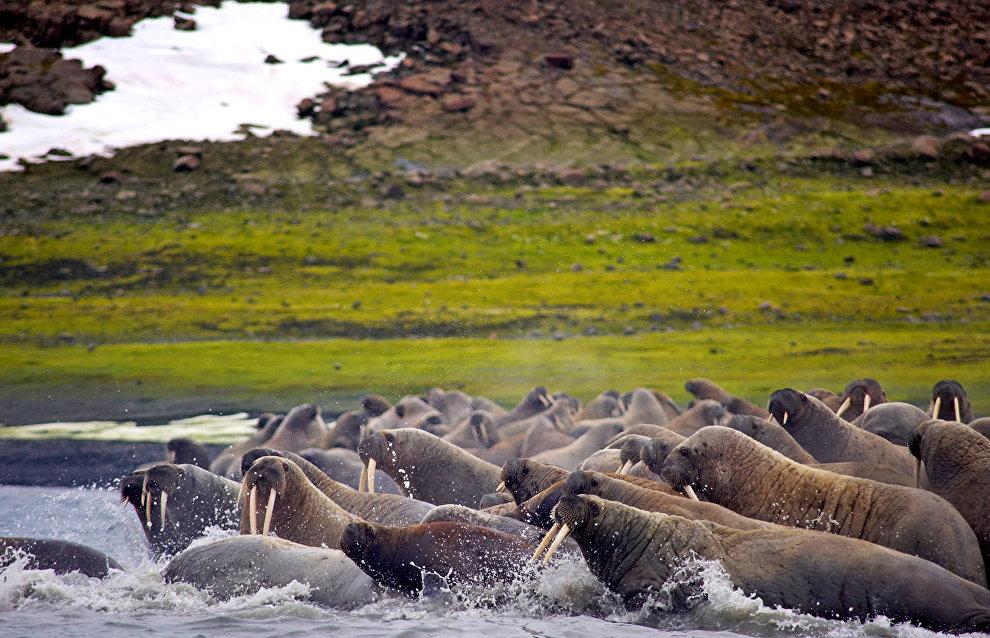 Atlantic Walruses, Apollonova Island