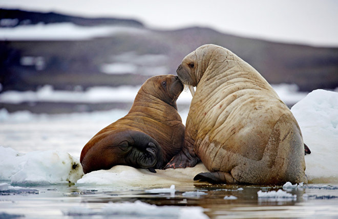 Cameras installed in Franz Josef Land to study walruses
