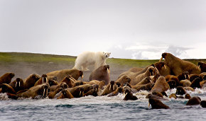 Scientists: Polar bears and walruses can be friends