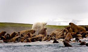 Атлантические моржи, остров Аполлонова