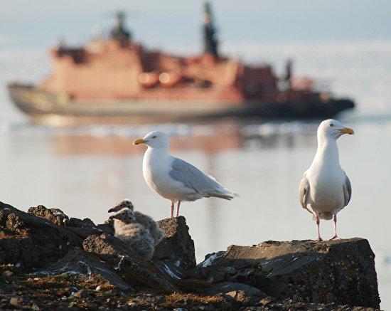 Чайки, Остров Рудольфа