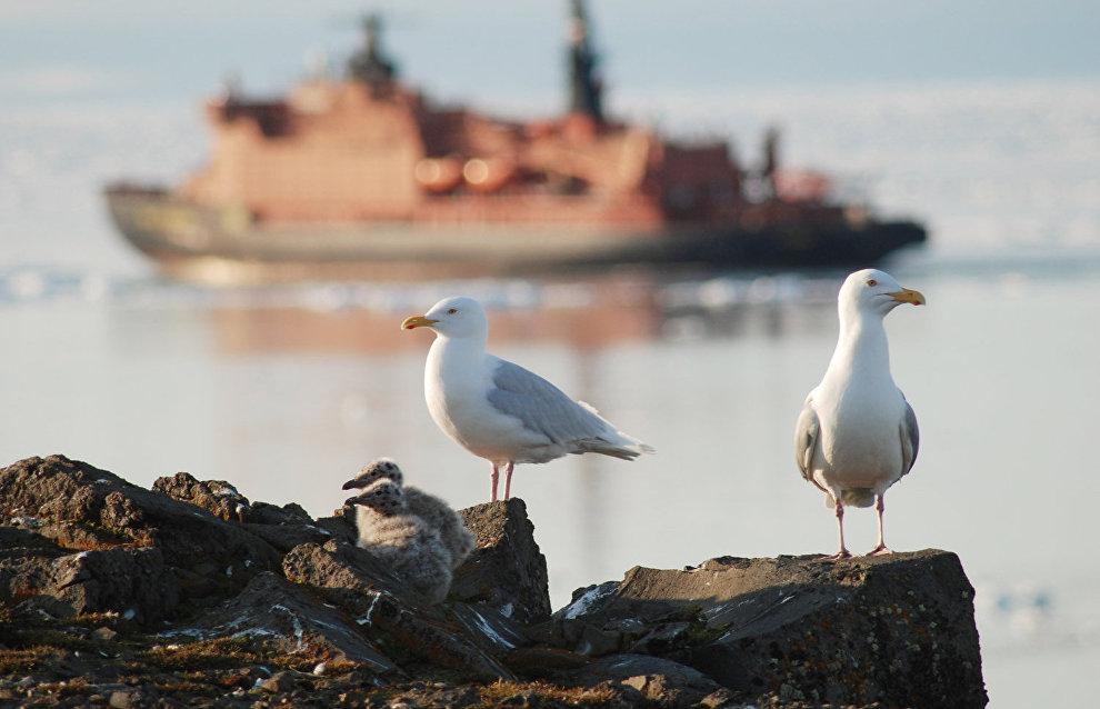 Glaucous Gulls, Rudolf Island