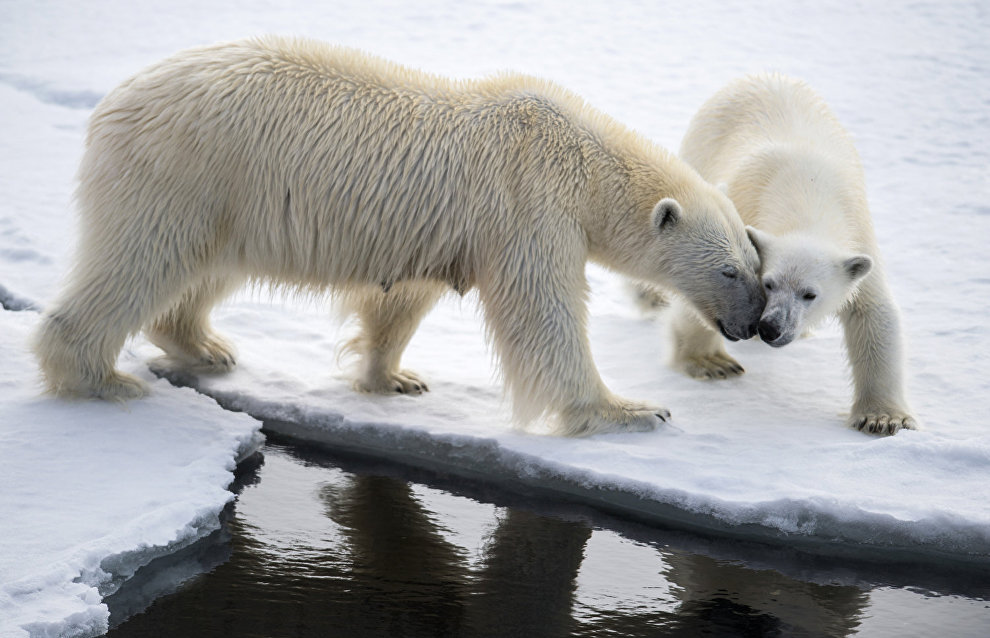 Chukotka polar bears adjust to climate change