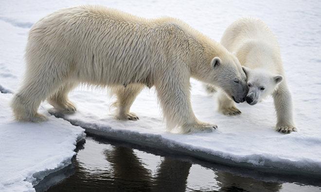 Chukotka polar bears adjust to climate change