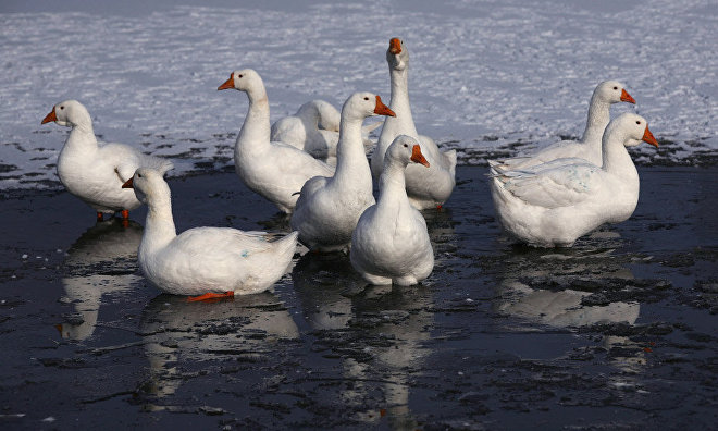 Ornithologists to film geese nesting on Kolguyev Island