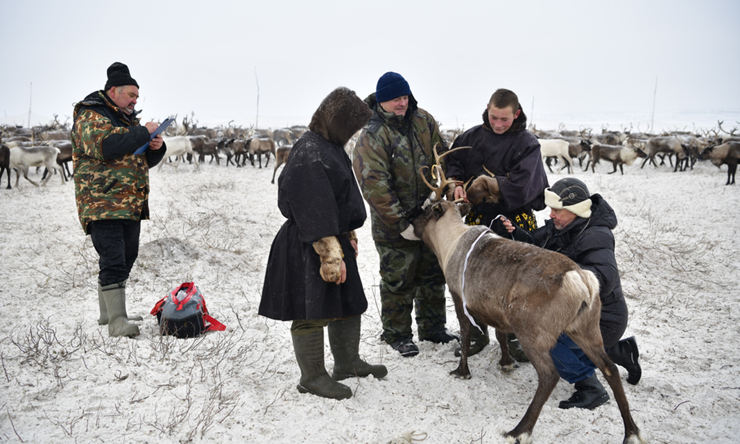 Measuring reindeer