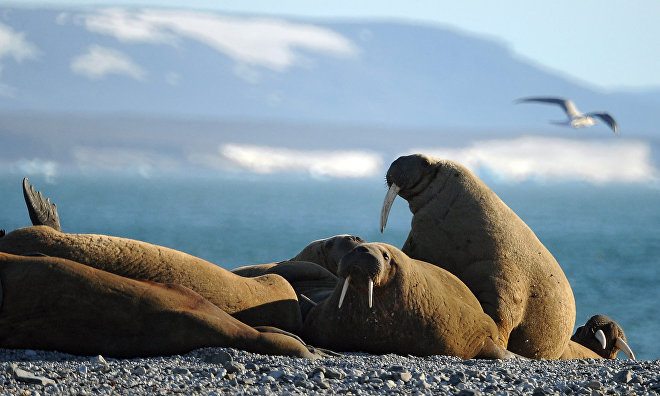 New expedition to study Barents Sea walrus population