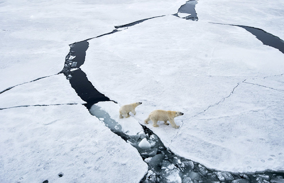 Russian, US scientists to monitor sea-ice populations of seals, polar bears
