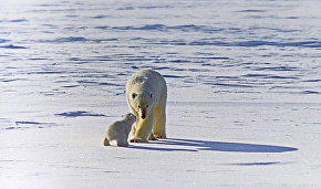 Experts to study polar bear health in Chukotka Sea region