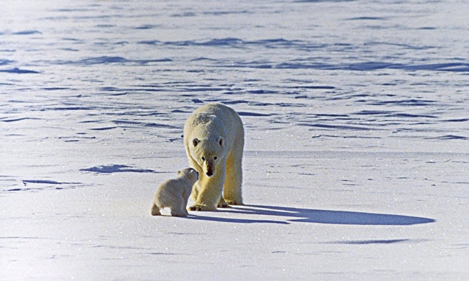 Donskoi: Polar bear population may shrink by about 67 % in 45 years