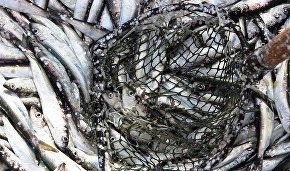 Over 7,000 tons of fish caught in Yamal in 2015