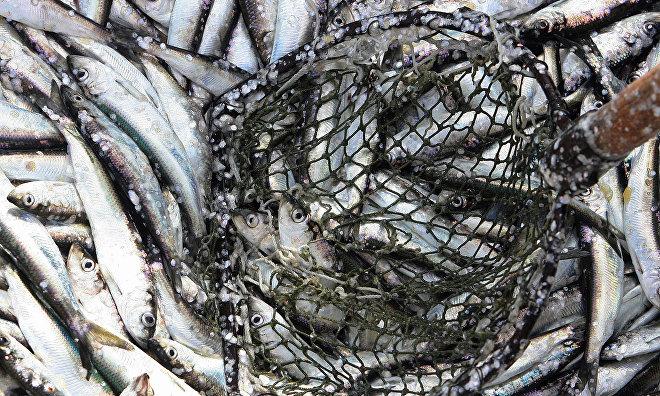 Taimyr allocate fishing quotas
