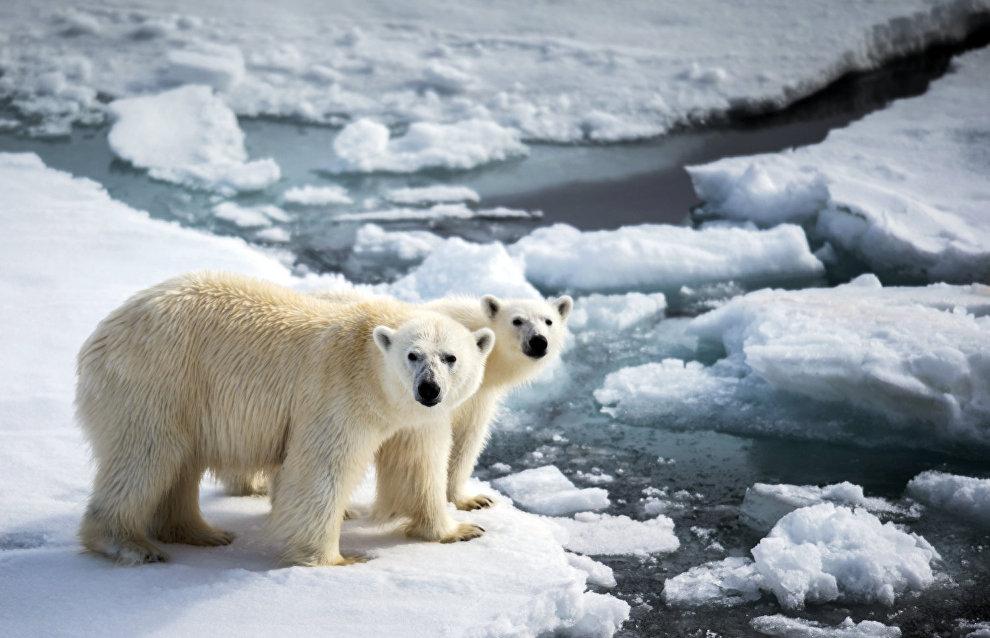 Экспедиция «Чукотка-лето-2015» исследовала состояние популяции белого медведя