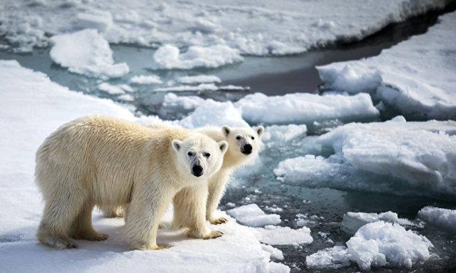 Chukotka expedition studies polar bear population