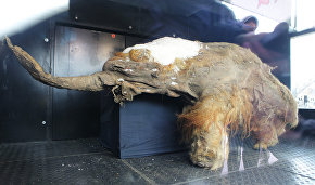 Yuka the young wooly mammoth could have been put into the lake by humans – scientists
