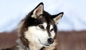Dog breeding in the Arctic dates back 8,000 years