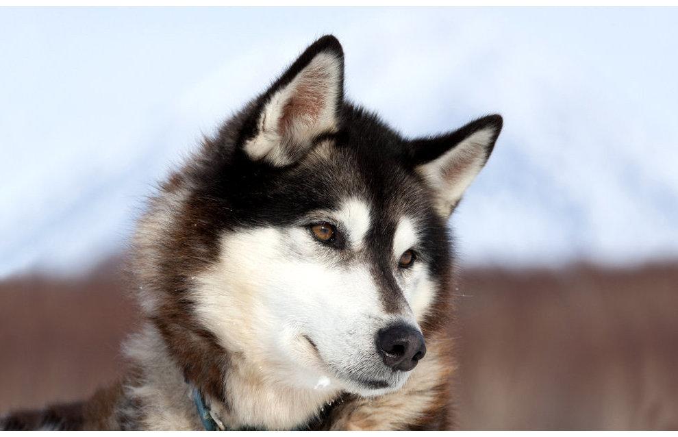Селекция собак в Арктике существовала 8 тыс. лет назад