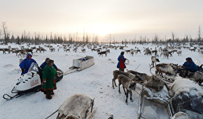 Reindeer breeding database to go online