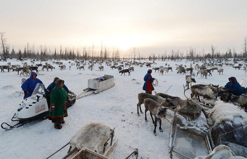 Reindeer breeding database to go online