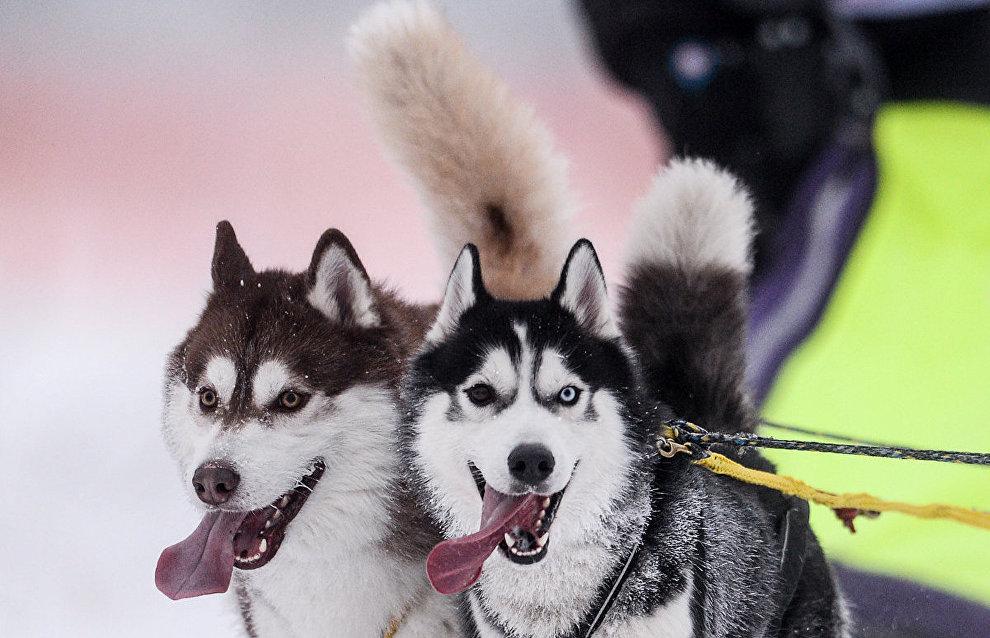 На Камчатке 21 февраля откроется гонка на собачьих упряжках «Берингия»
