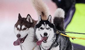 Beringia dog sled race to start on February 21 in Kamchatka