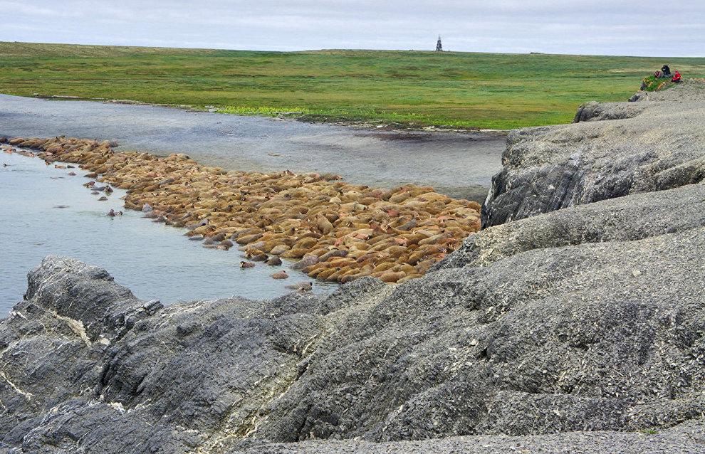Лежбище моржей на острове Вайгач. Мыс Большой Лямчин Нос