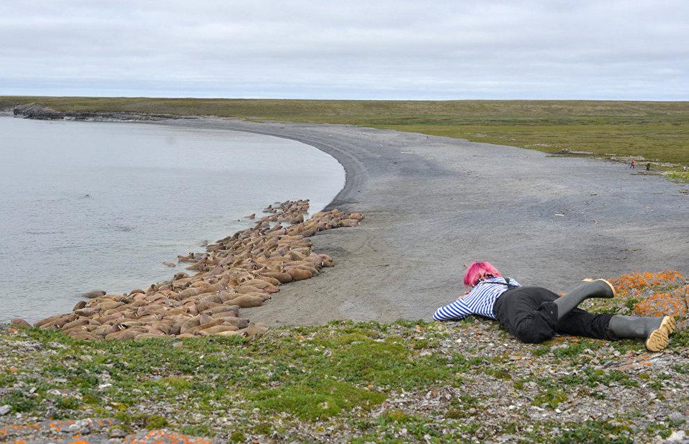 Специалист Центра морских исследований МГУ им. М.В.Ломоносова ведёт наблюдения за моржами. Мыс Большой Лямчин Нос, остров Вайгач