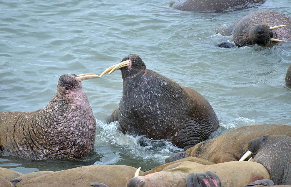 Суровый нрав моржей. Мыс Большой Лямчин Нос, остров Вайгач