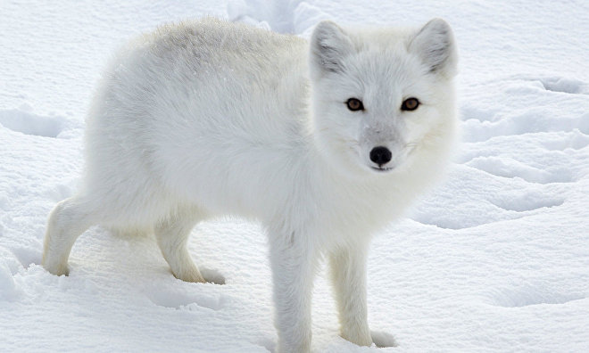 Researchers to study Arctic fox migration