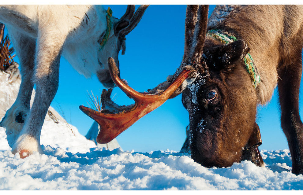 Reindeer is an important part of the Nenets life