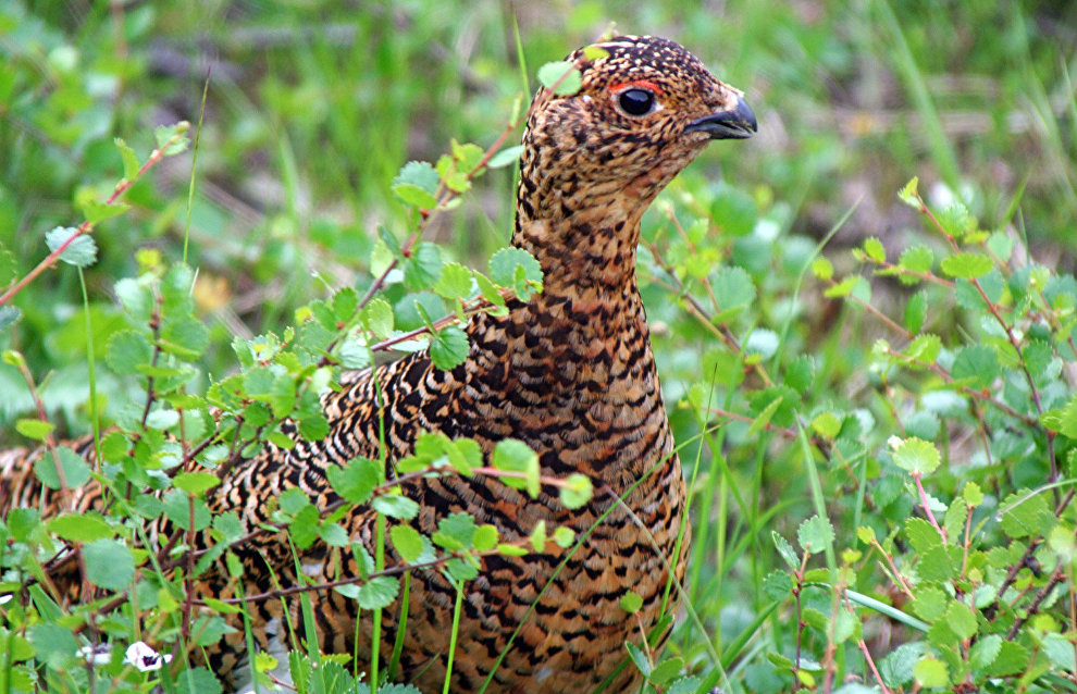 Ptarmigans trade off their immunity for the Arctic