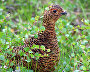 A willow grouse