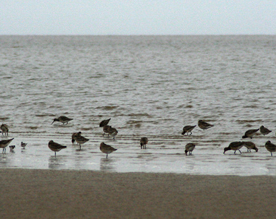 Waders eating during low tide