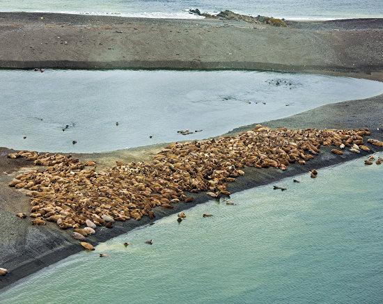 Atlantic walrus rookery