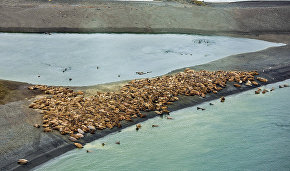 Atlantic walrus rookery