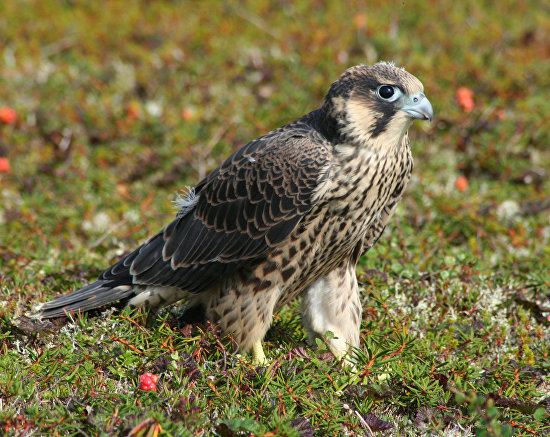 A young peregrine