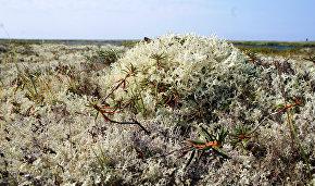 Lichen tundra