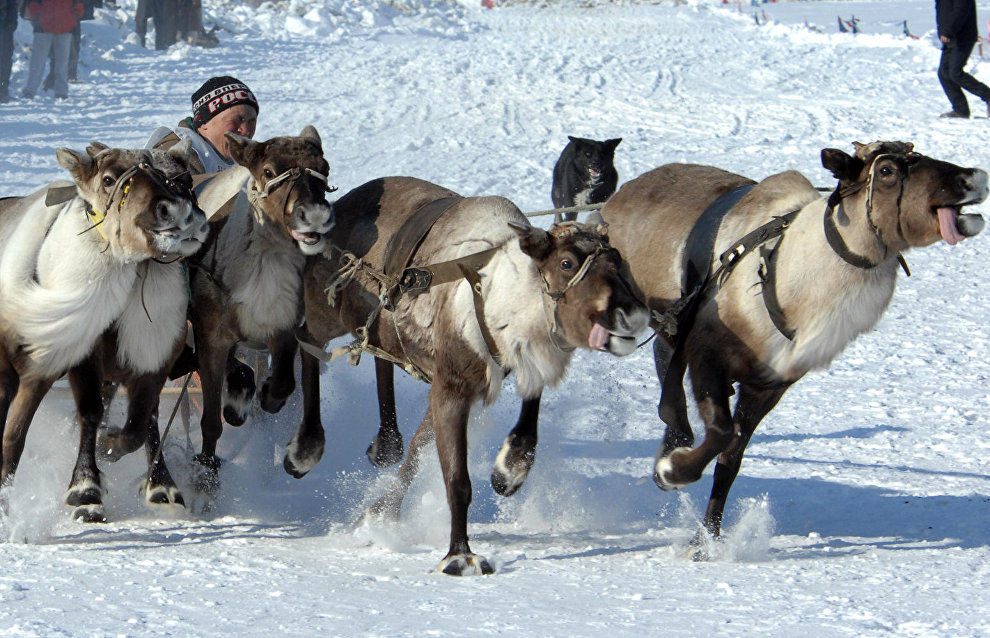 A reindeer team race