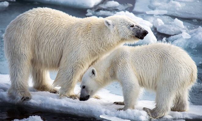 Russia and the US to jointly monitor polar bear populations in Chukotka and Alaska